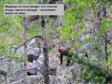 Медведь по лесу бродит. Ест спелые ягоды, орехи и желуди – нагуливает жирок н...