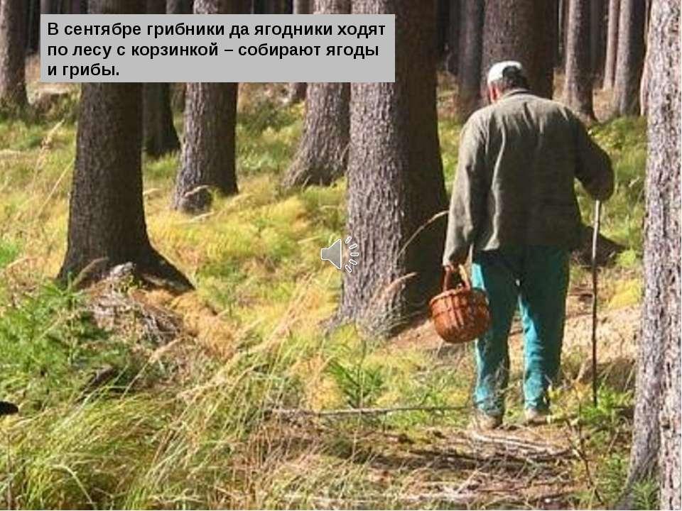 В сентябре грибники да ягодники ходят по лесу с корзинкой – собирают ягоды и ...