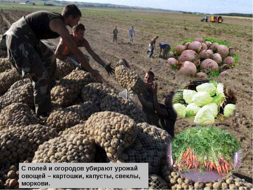 С полей и огородов убирают урожай овощей – картошки, капусты, свеклы, моркови.