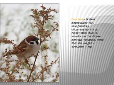 Воробей – бойкая, жизнерадостная, находчивая и общительная птица. Клюёт овёс,...