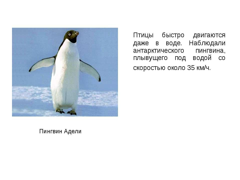 Птицы быстро двигаются даже в воде. Наблюдали антарктического пингвина, плыву...
