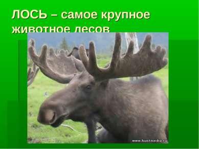 ЛОСЬ – самое крупное животное лесов