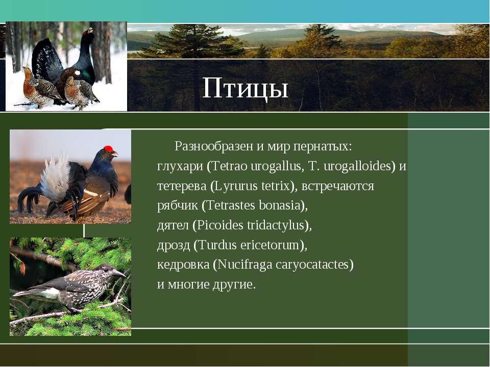 Птицы Разнообразен и мир пернатых: глухари (Tetrao urogallus, T. urogalloides...