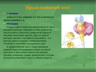 Мозжечок Строение: Имеет два полушария и кору из серого вещества Функции: Моз...