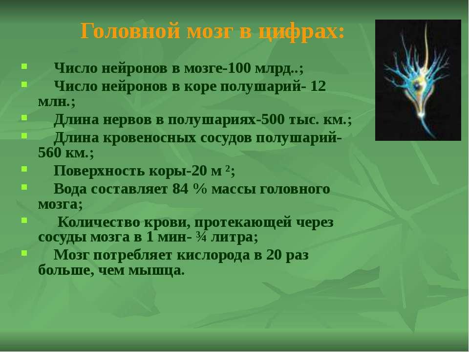 Продолговатый мозг Строение: длина 2-3 мм, ширина 2,5 мм и является продолжен...
