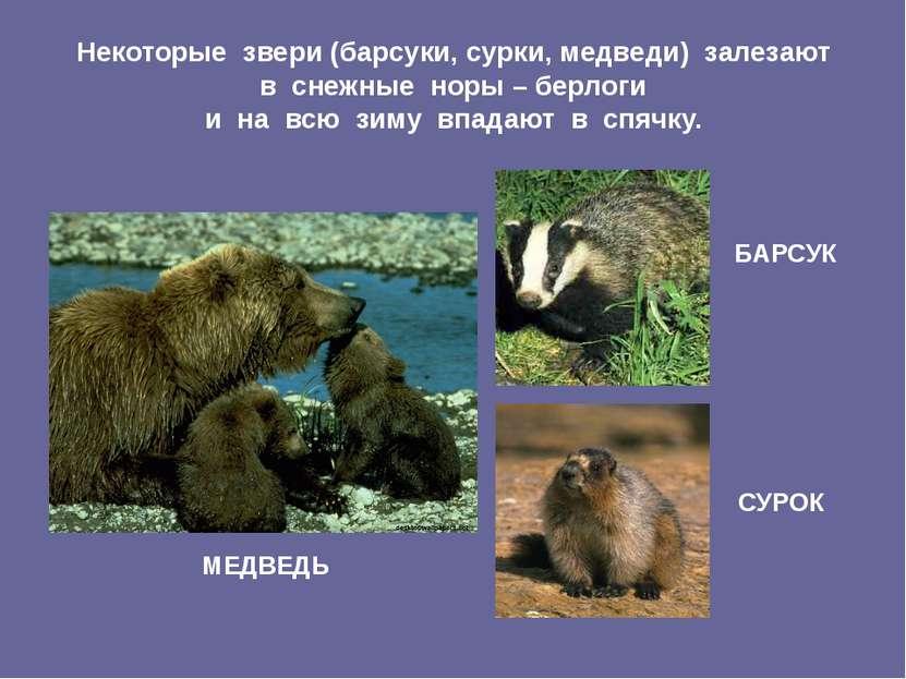 Некоторые звери (барсуки, сурки, медведи) залезают в снежные норы – берлоги и...