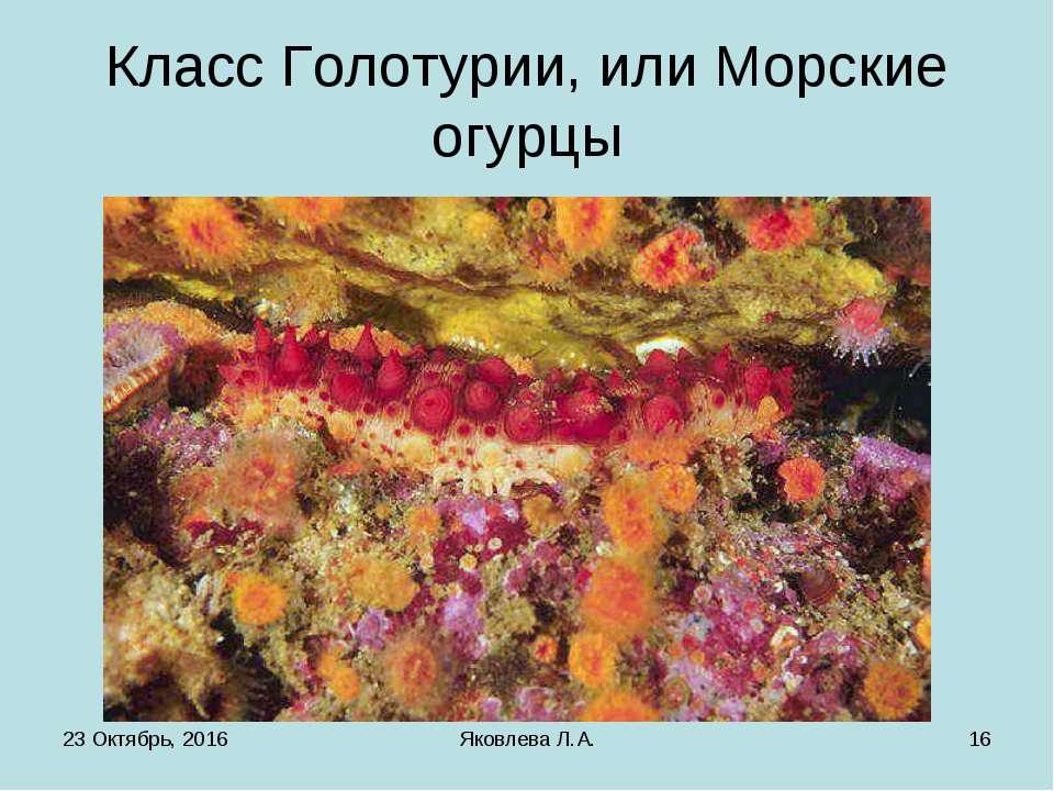 * Яковлева Л.А. * Класс Голотурии, или Морские огурцы Яковлева Л.А.