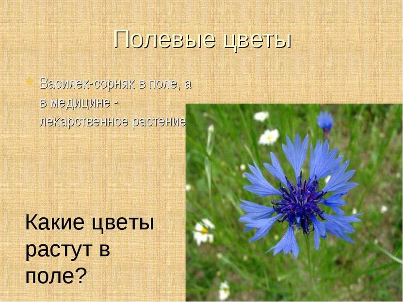 Полевые цветы Василек-сорняк в поле, а в медицине - лекарственное растение Ка...