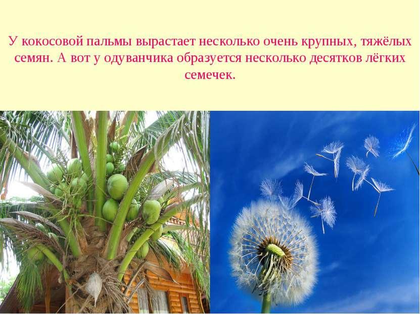 У кокосовой пальмы вырастает несколько очень крупных, тяжёлых семян. А вот у ...