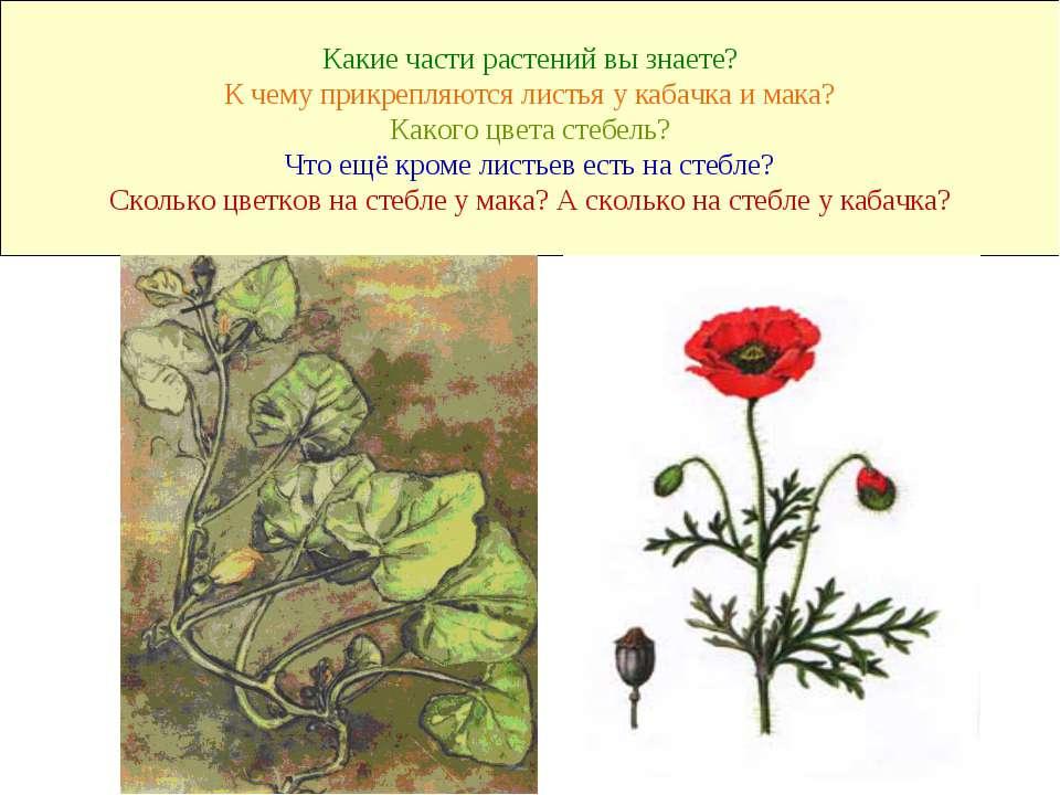 Какие части растений вы знаете? К чему прикрепляются листья у кабачка и мака?...