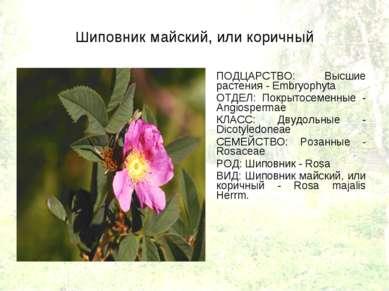 Шиповник майский, или коричный ПОДЦАРСТВО: Высшие растения - Embryophyta ОТДЕ...