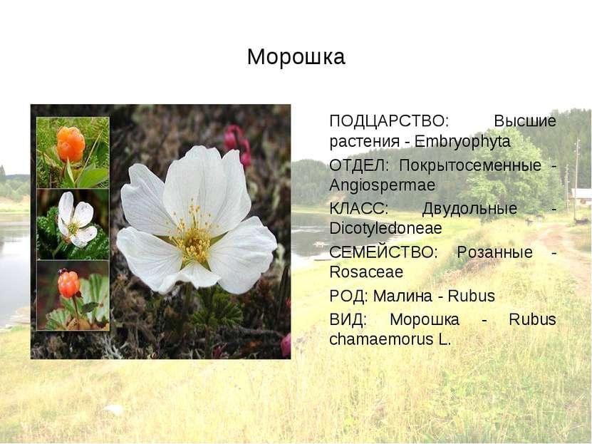 Морошка ПОДЦАРСТВО: Высшие растения - Embryophyta ОТДЕЛ: Покрытосеменные - An...