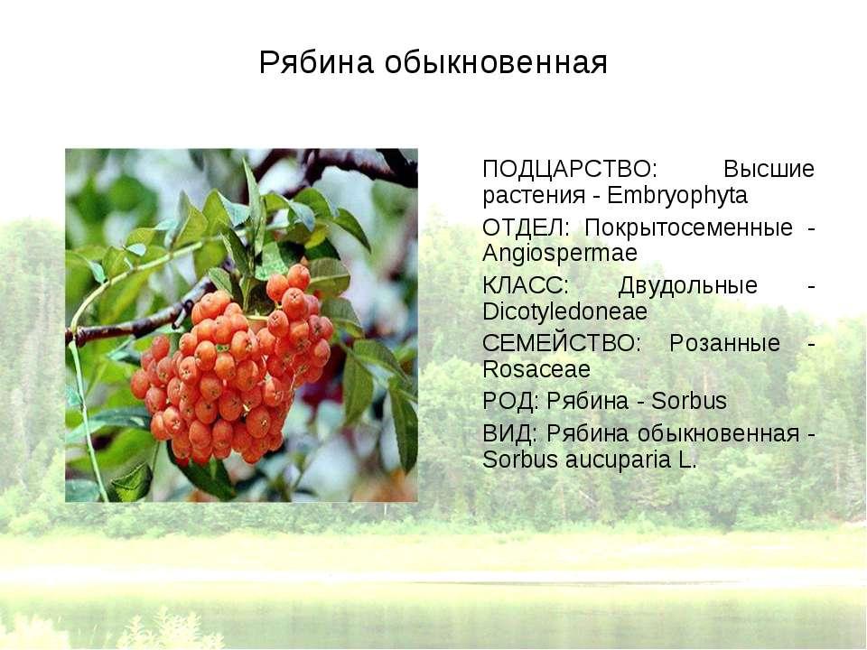 Рябина обыкновенная ПОДЦАРСТВО: Высшие растения - Embryophyta ОТДЕЛ: Покрытос...