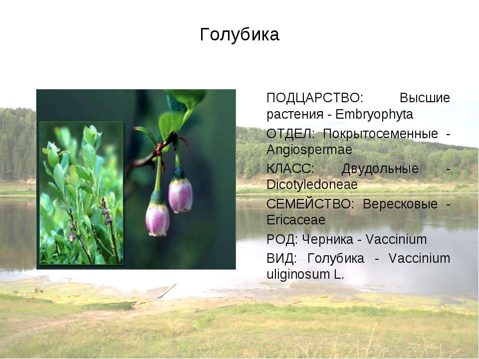 Голубика ПОДЦАРСТВО: Высшие растения - Embryophyta ОТДЕЛ: Покрытосеменные - A...