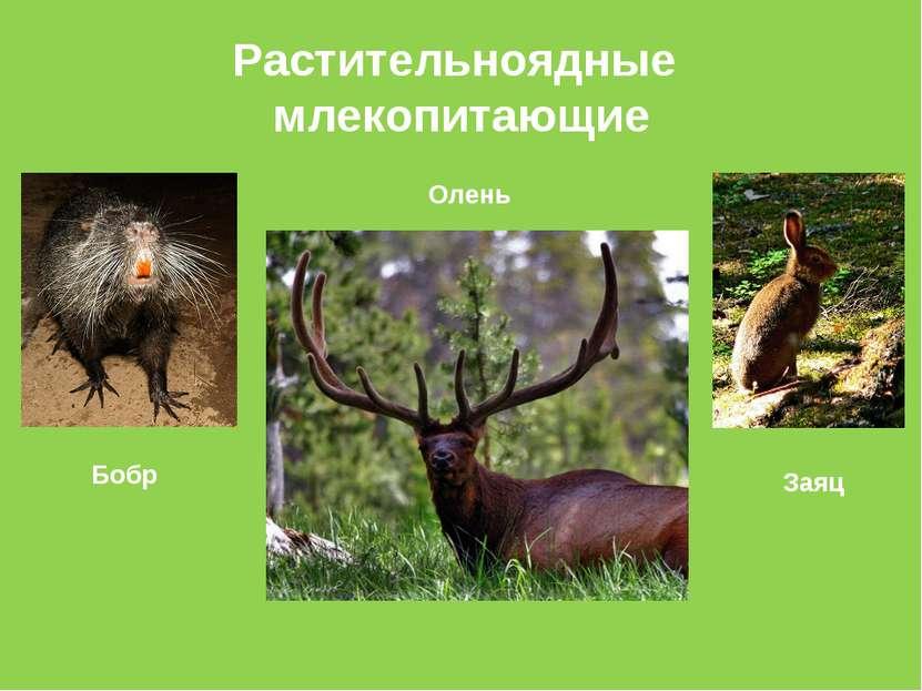 Растительноядные млекопитающие Бобр Олень Заяц