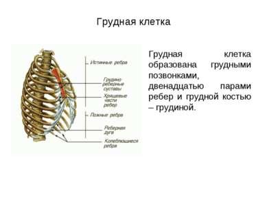 Грудная клетка Грудная клетка образована грудными позвонками, двенадцатью пар...