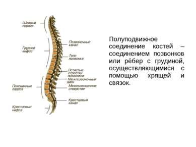 Полуподвижное соединение костей – соединением позвонков или рёбер с грудиной,...