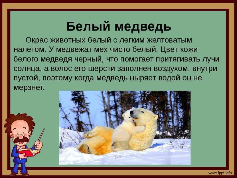Белый медведь Окрас животных белый с легким желтоватым налетом. У медвежат ме...