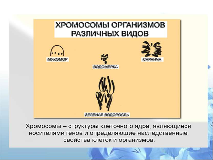 СТРОЕНИЕ ХРОМОСОМ Схема строения хромосомы в поздней профазе – метафазе митоз...