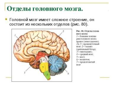 Отделы головного мозга. Головной мозг имеет сложное строение, он состоит из н...