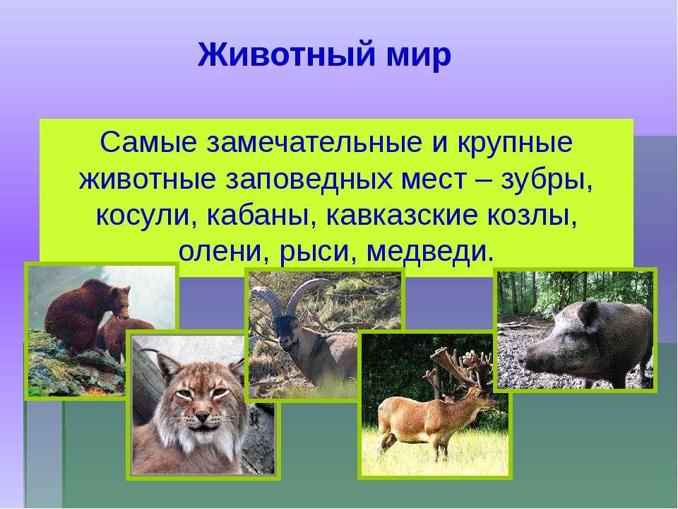 Самые замечательные и крупные животные заповедных мест – зубры, косули, кабан...