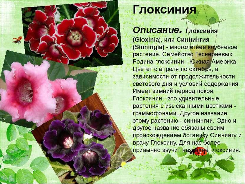 Глоксиния Глоксиния Описание. Глоксиния (Gloxinia), или Синнингия (Sinningia)...