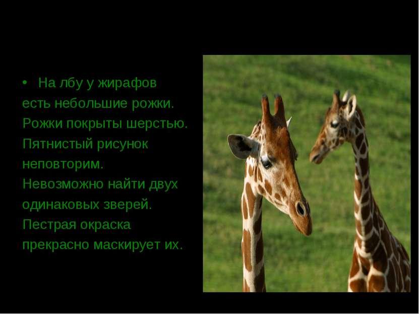 На лбу у жирафов есть небольшие рожки. Рожки покрыты шерстью. Пятнистый рисун...