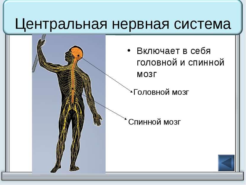 Центральная нервная система Включает в себя головной и спинной мозг Головной ...