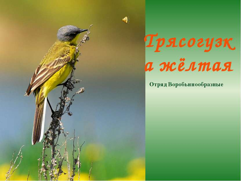 Трясогузка жёлтая Отряд Воробьинообразные