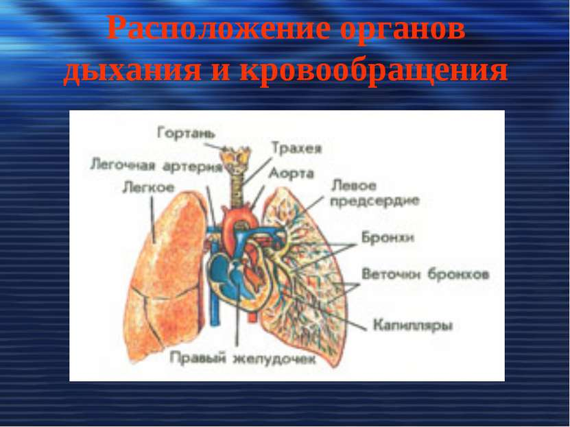 Расположение органов дыхания и кровообращения