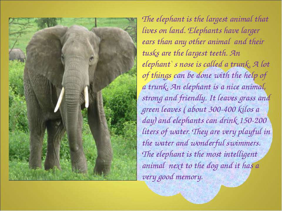 The elephant is the largest animal that lives on land. Elephants have larger ...