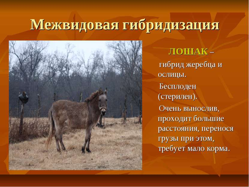 Межвидовая гибридизация ЛОШАК – гибрид жеребца и ослицы. Бесплоден (стерилен)...