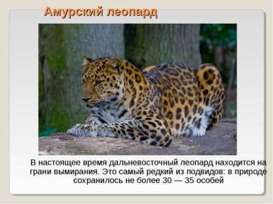 Амурский леопард В настоящее время дальневосточный леопард находится на грани...