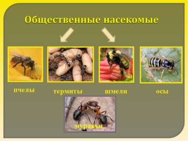 пчелы термиты шмели осы муравьи