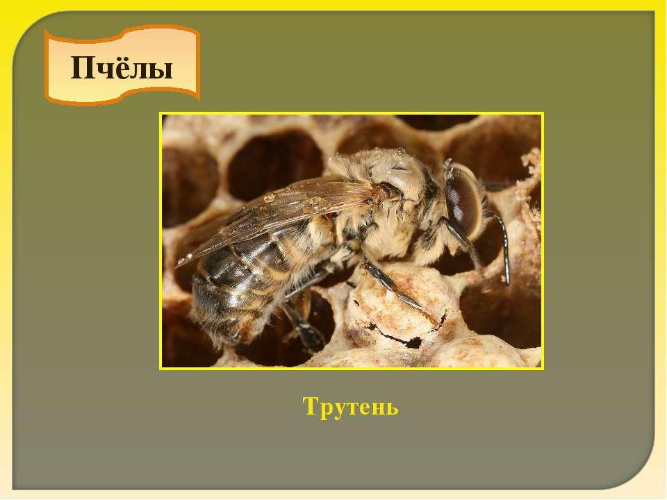 Пчёлы Трутень