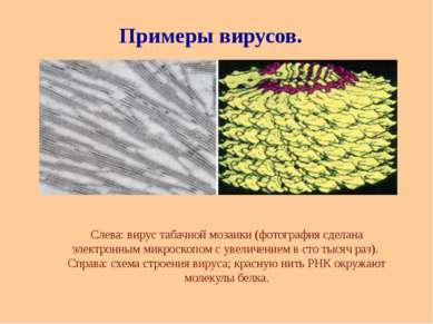 Слева: вирус табачной мозаики (фотография сделана электронным микроскопом с у...