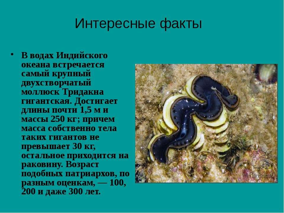 В водах Индийского океана встречается самый крупный двухстворчатый моллюск Тр...