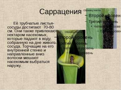 Саррацения Её трубчатые листья-сосуды достигают 70-80 см. Они также привлекаю...