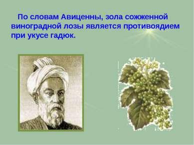 По словам Авиценны, зола сожженной виноградной лозы является противоядием при...