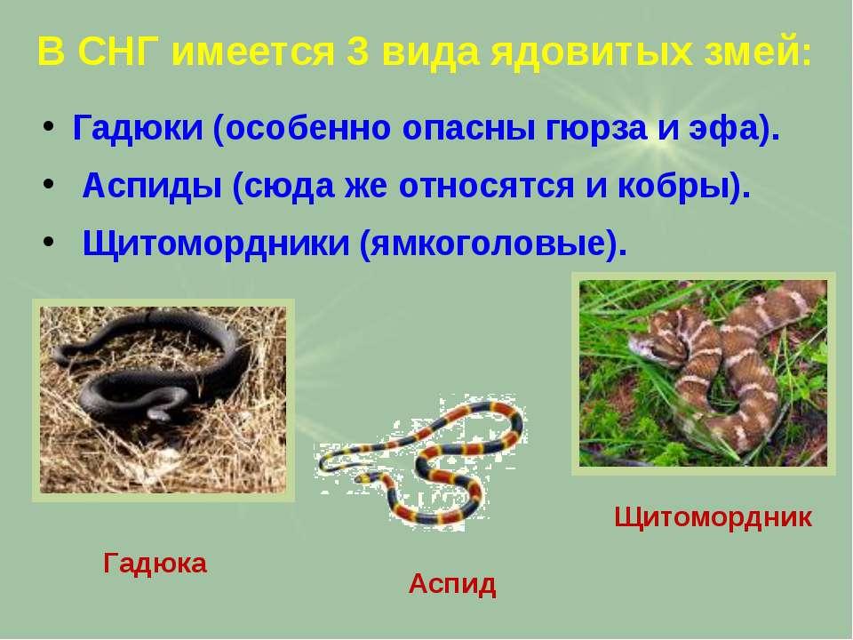 В СНГ имеется 3 вида ядовитых змей: Гадюки (особенно опасны гюрза и эфа). Асп...