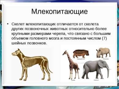 Млекопитающие Скелет млекопитающих отличается от скелета других позвоночных ж...
