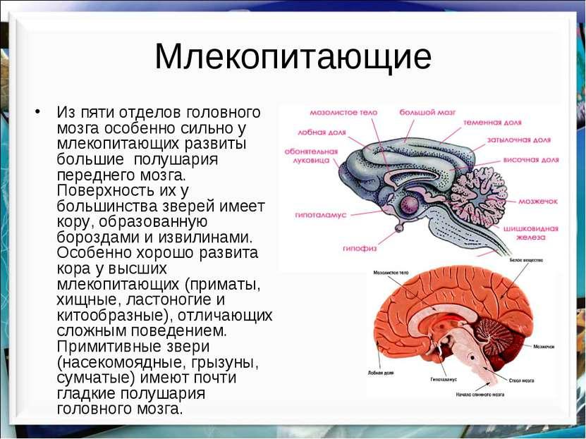 Млекопитающие Из пяти отделов головного мозга особенно сильно у млекопитающих...