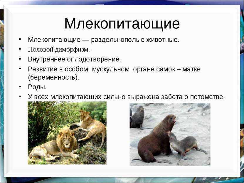 Млекопитающие Млекопитающие — раздельнополые животные. Половой диморфизм. Вну...