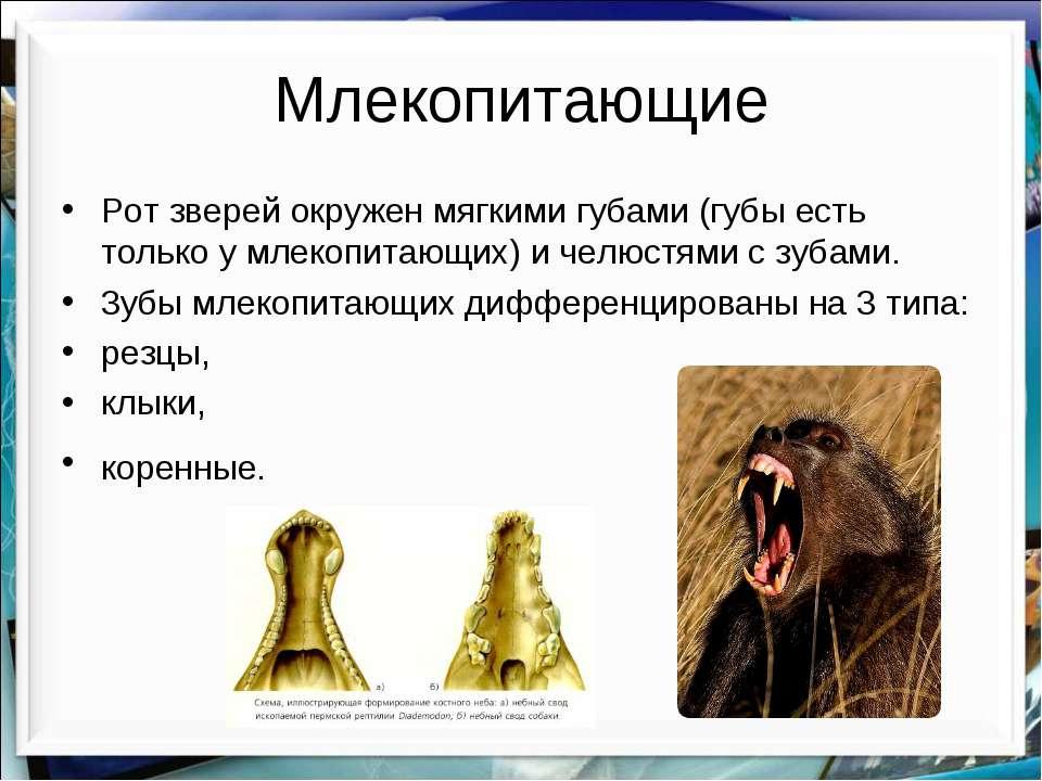 Млекопитающие Рот зверей окружен мягкими губами (губы есть только у млекопита...