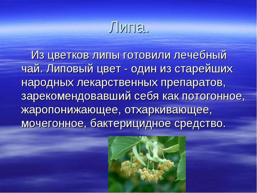 Липа. Из цветков липы готовили лечебный чай. Липовый цвет - один из старейших...