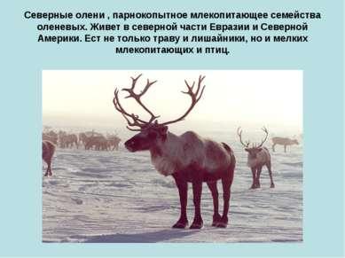 Северные олени , парнокопытное млекопитающее семейства оленевых. Живет в севе...
