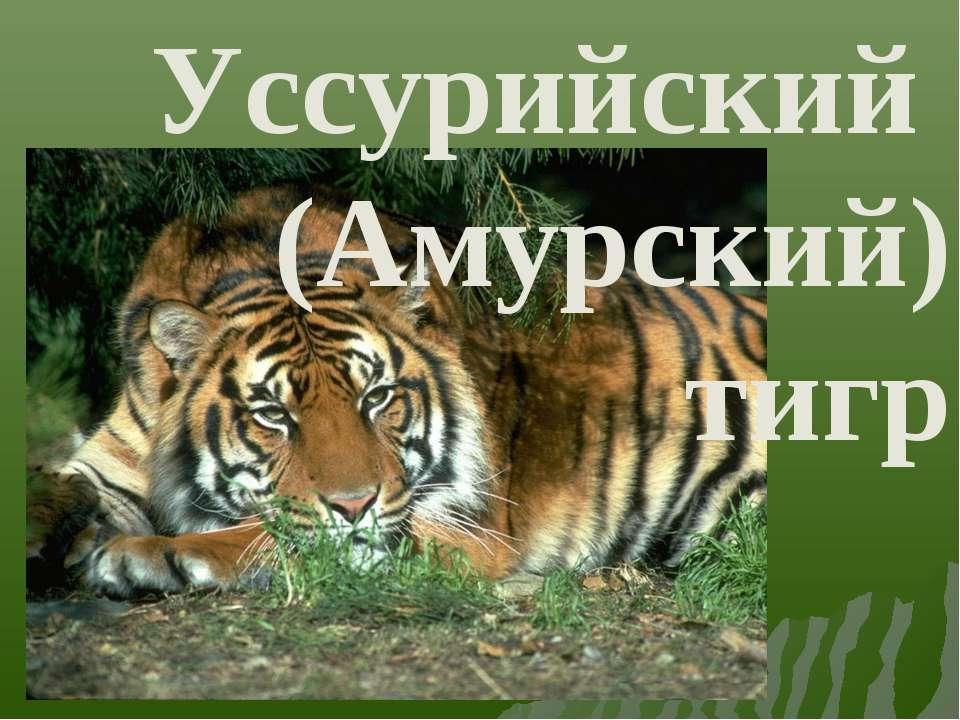 Уссурийский (Амурский) тигр