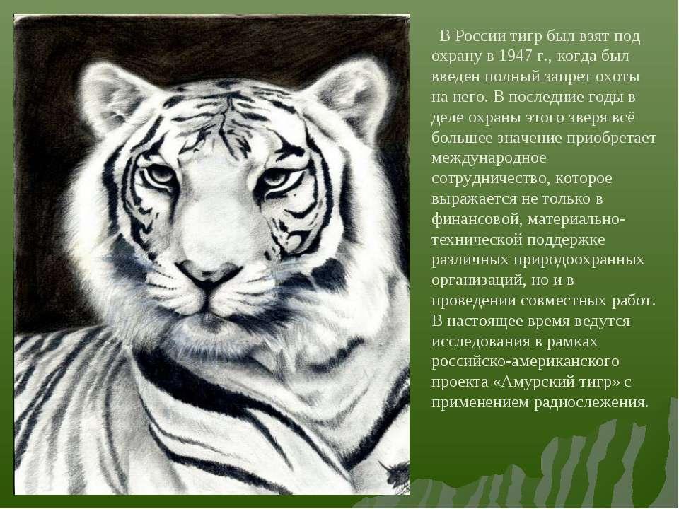 В России тигр был взят под охрану в 1947 г., когда был введен полный запрет о...