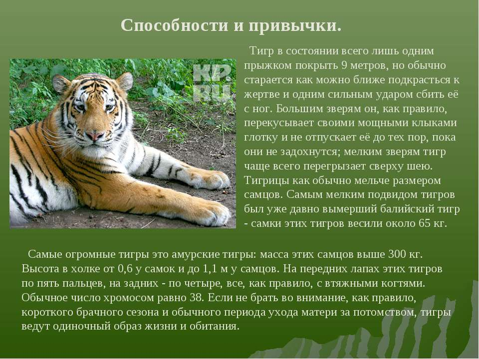 Способности и привычки. Тигр в состоянии всего лишь одним прыжком покрыть 9 м...
