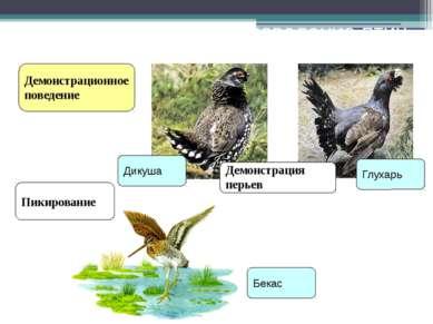 Ритуальное поведение птиц Демонстрационное поведение Пикирование Демонстрация...
